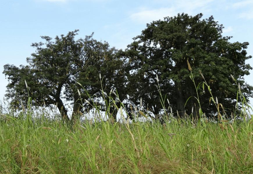 Grand Cru de karité Bénin 2015