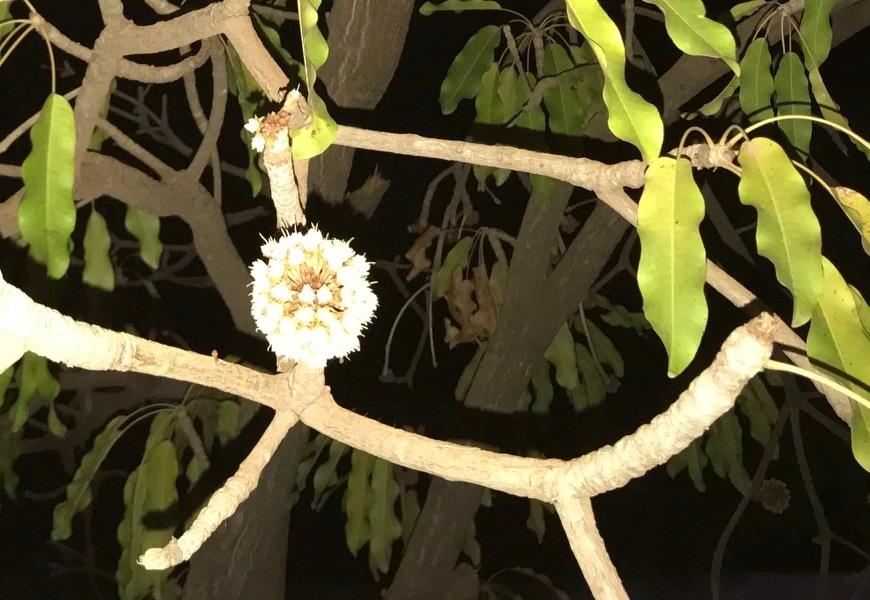 Fleur de karité